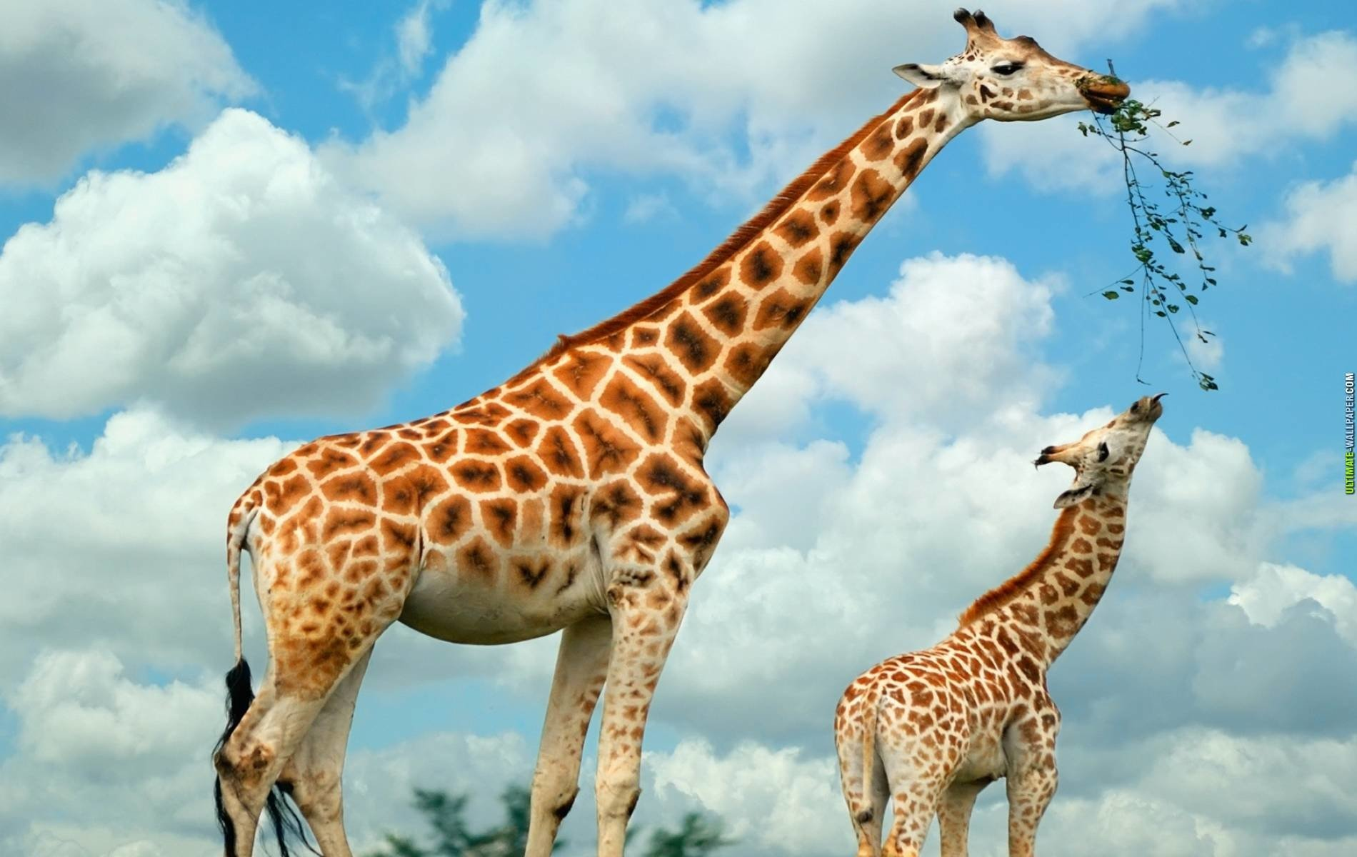 Animal - Giraffe  Wallpaper
