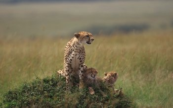 Djur - Cheetah Wallpapers and Backgrounds ID : 115654