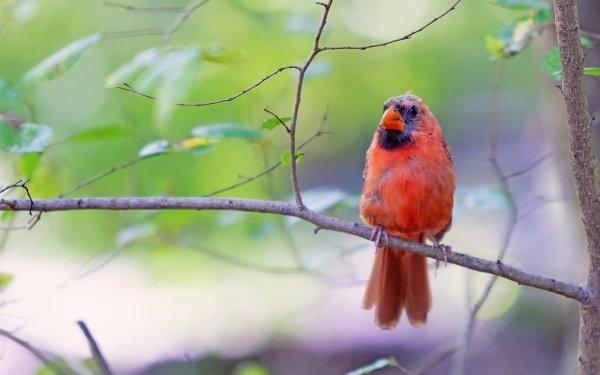 Animal Northern Cardinal Birds Passerines Bird HD Wallpaper | Background Image