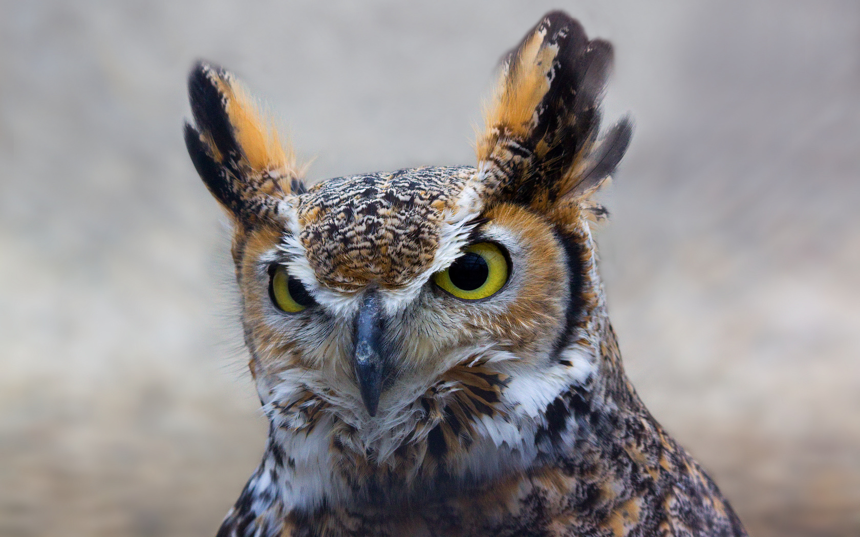 hd great horned owl - photo #24