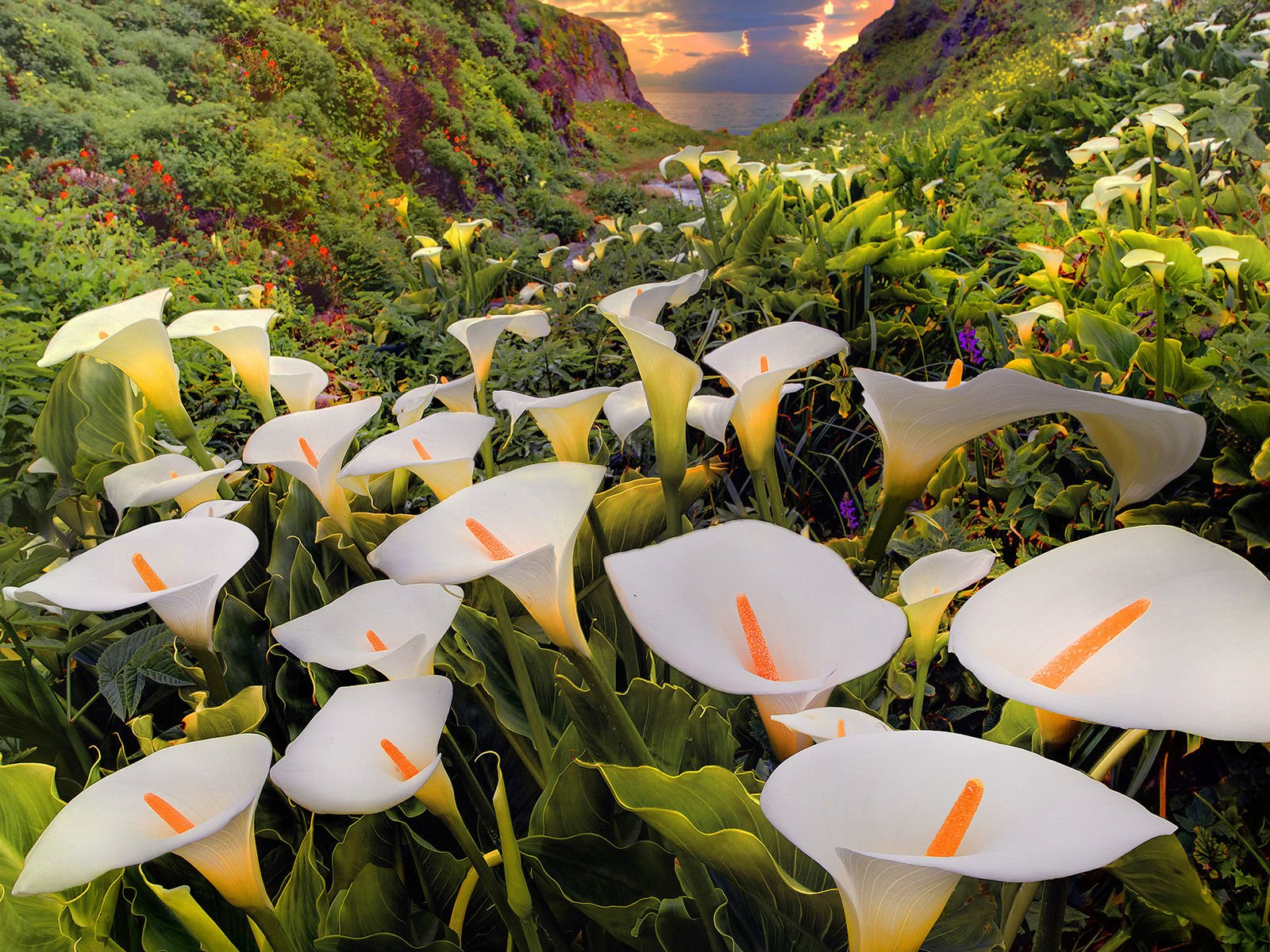 Flower Garden Wallpaper Background 32 calla lily hd wallpapers | backgrounds - wallpaper abyss