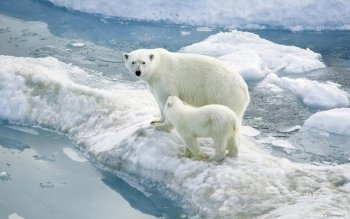 Animal - Polar Bear Wallpapers and Backgrounds ID : 116464