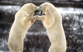 Animal - Polar Bear Wallpapers and Backgrounds ID : 116468