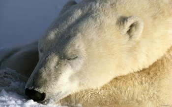 Animal - Polar Bear Wallpapers and Backgrounds ID : 116534