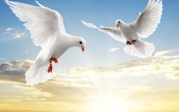 Animalia - Dove Wallpapers and Backgrounds ID : 116778