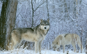 Dierenrijk - Wolf Wallpapers and Backgrounds ID : 116964