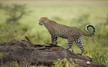Animal - Leopard Wallpapers and Backgrounds ID : 116986