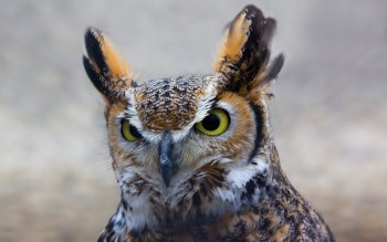 Animal - Owl Wallpapers and Backgrounds ID : 116988