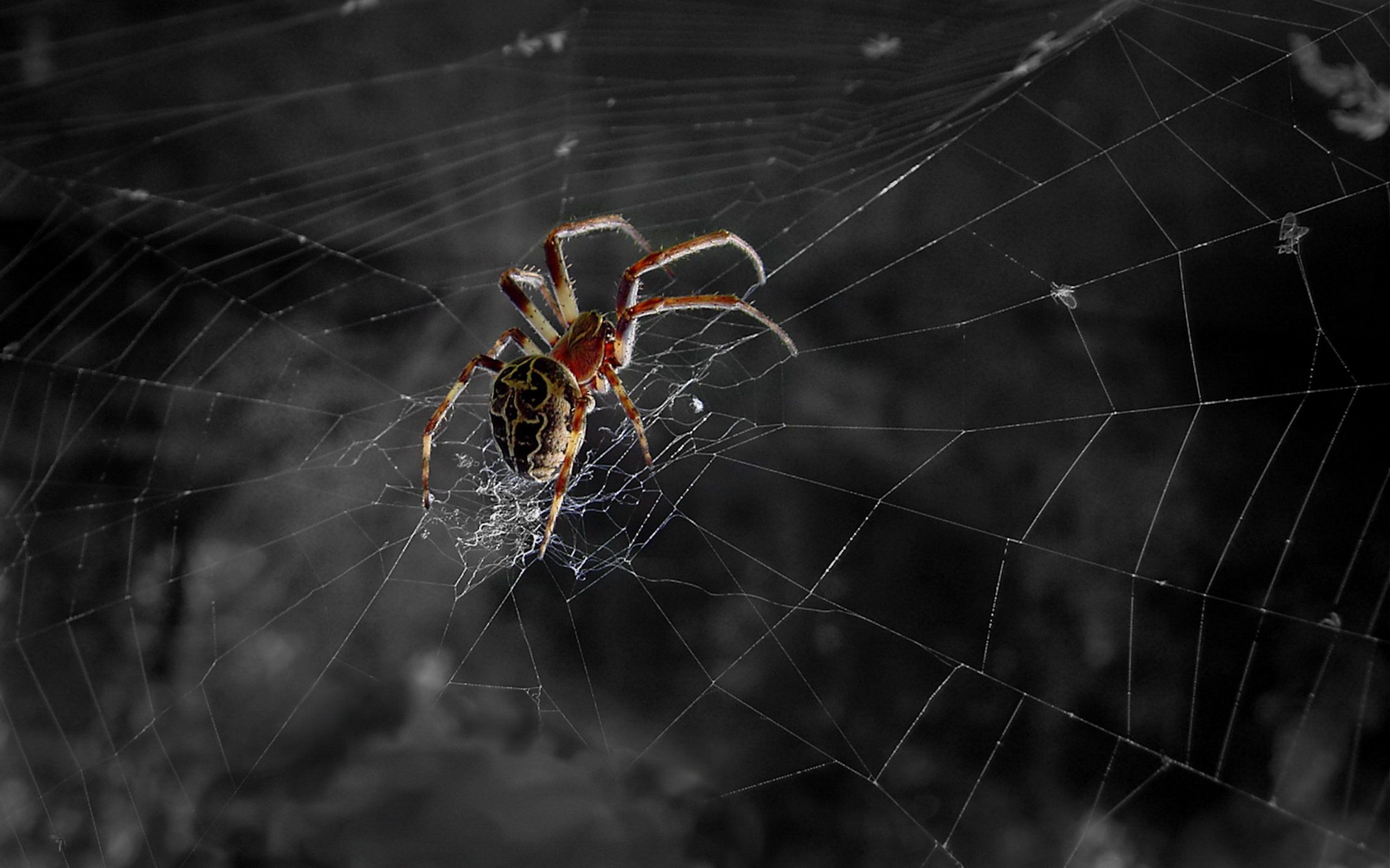 spider hd wallpaper | background image | 2560x1600 | id:118596