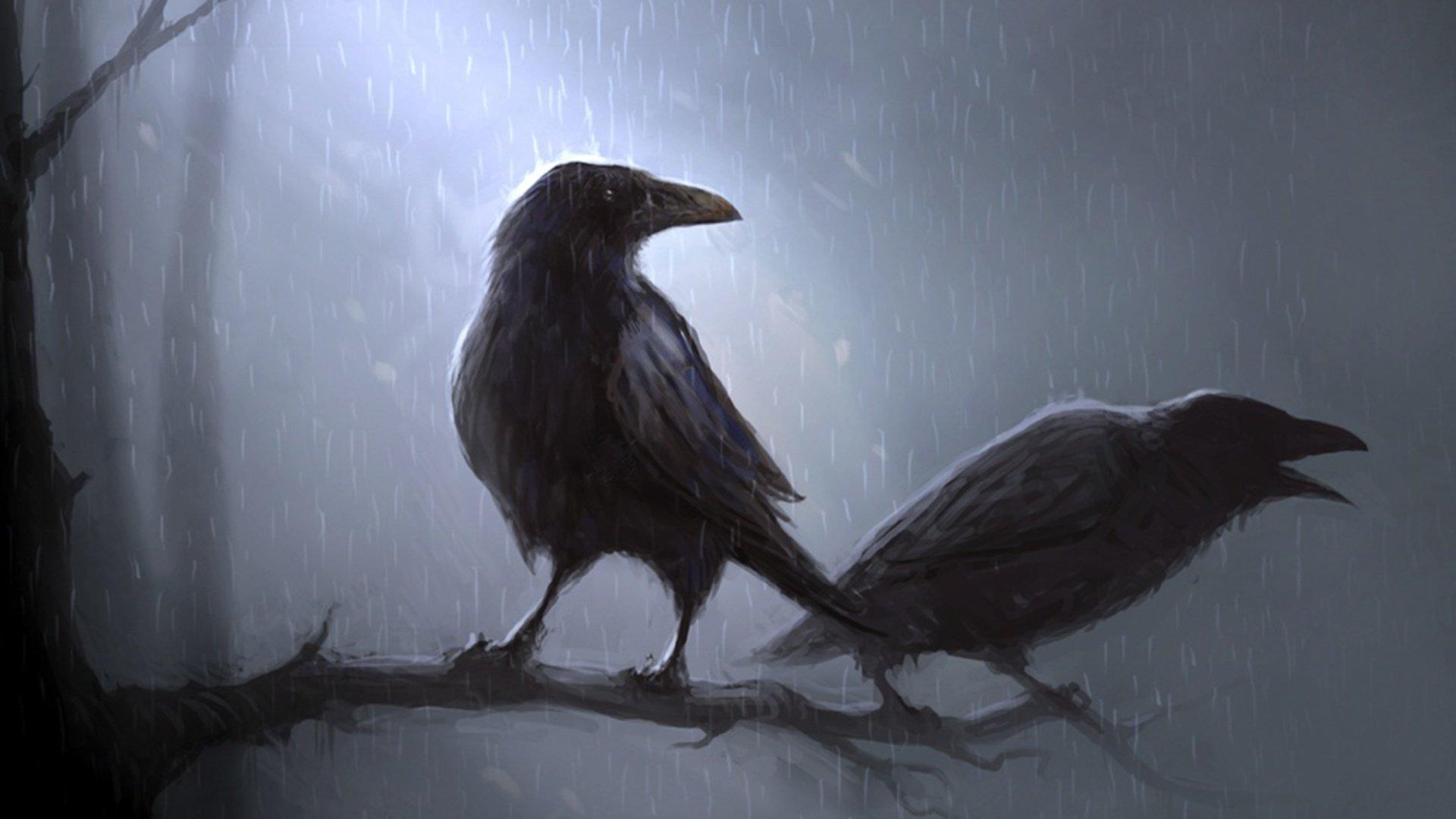 动物 - 乌鸦  渡鸦 动物 鸟 壁纸