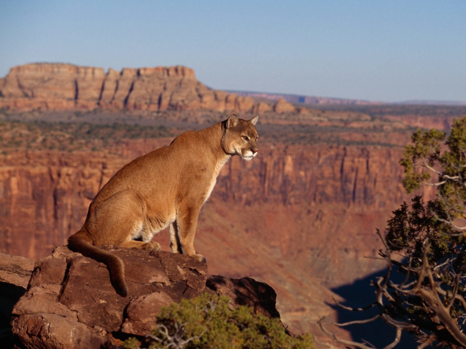 Animaux - Puma  Fond d'écran