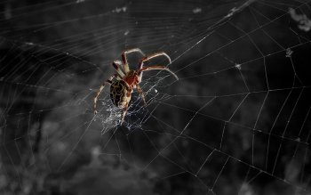 Animal - Spider Wallpapers and Backgrounds ID : 118596