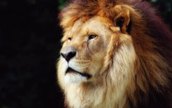Animal - Lion Wallpapers and Backgrounds ID : 124916