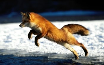 Animal - Fox Wallpapers and Backgrounds ID : 125096