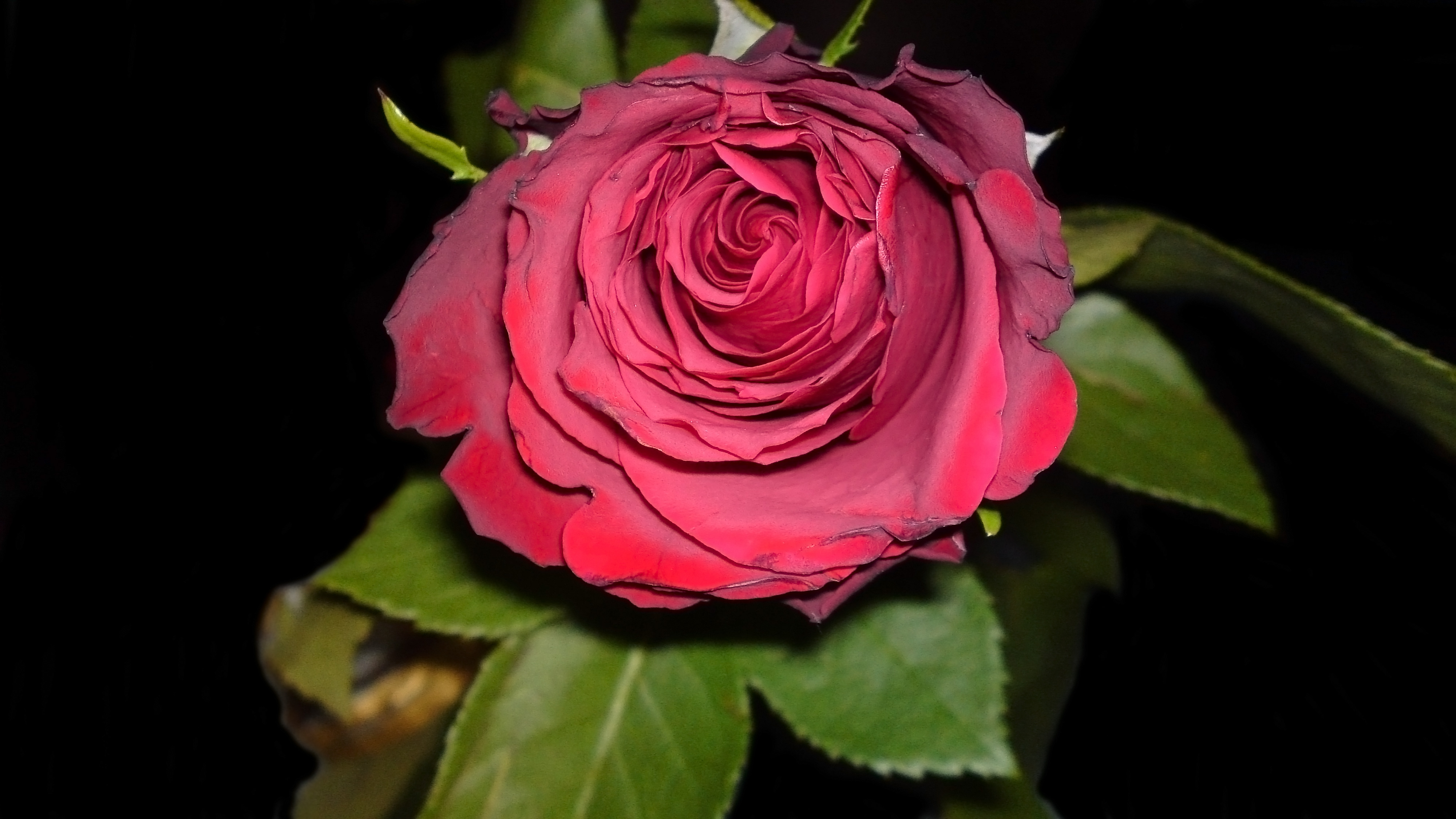 Earth - Rose  Colors Photography Pink Dark Green Leaf Flower Red Artistic Wallpaper