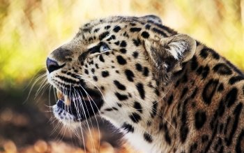 Animal - Leopard Wallpapers and Backgrounds ID : 143008