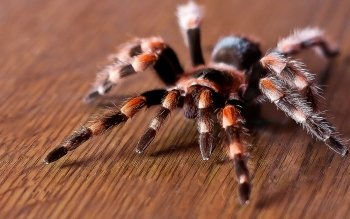 Animal - Spider Wallpapers and Backgrounds ID : 143586