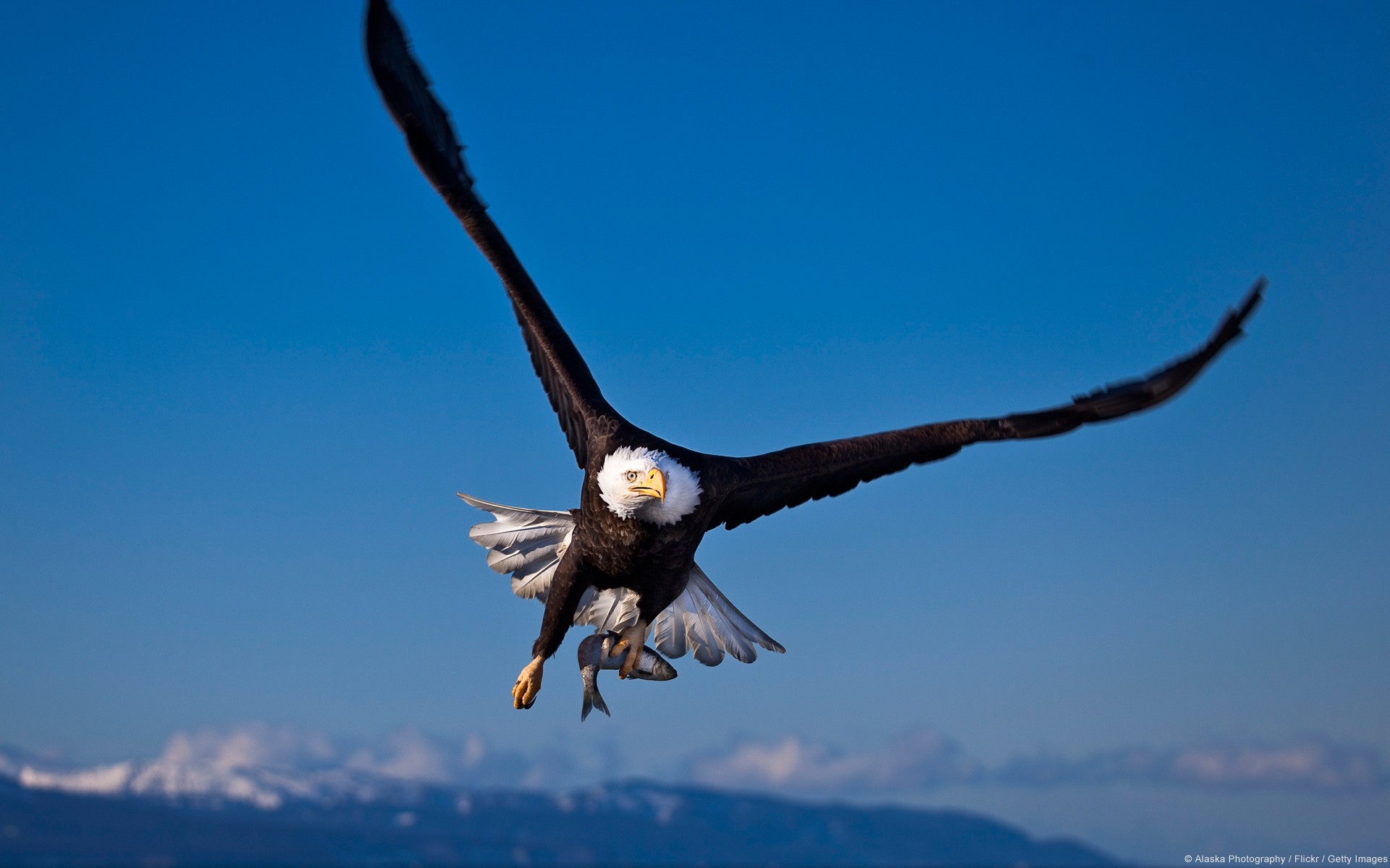 Animal - Eagle  Bird Wallpaper