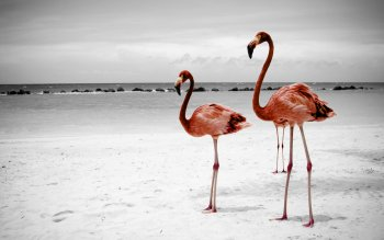 Animal - Flamingo Wallpapers and Backgrounds ID : 145056