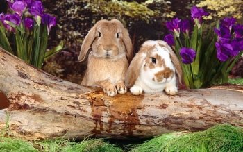 Animal - Rabbit Wallpapers and Backgrounds ID : 146806