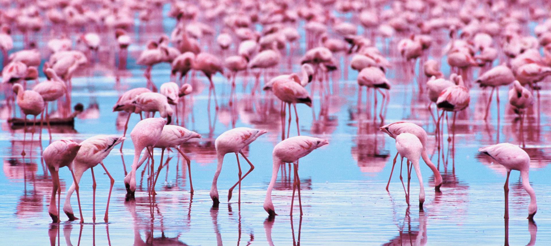Background flamingo flamingos iphone wallpaper wallpaper - Animal Flamingo Wallpaper