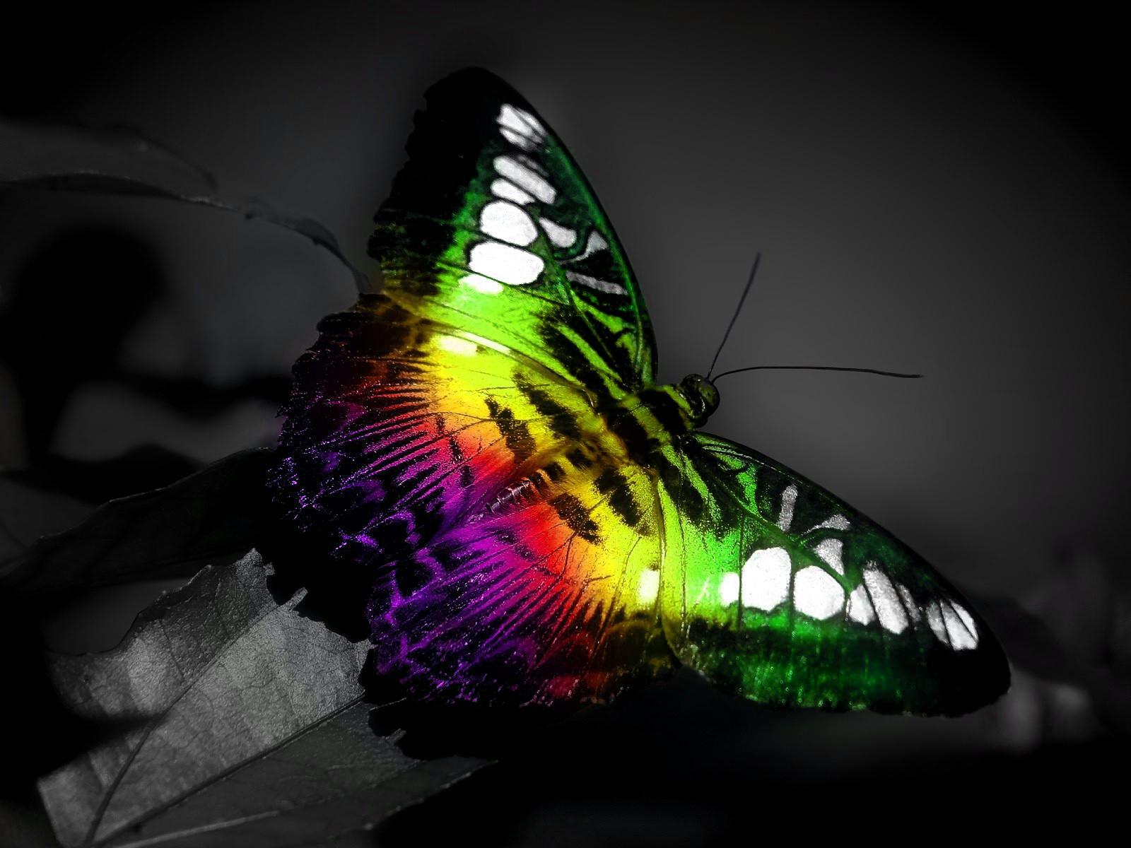 Butterfly Wallpaper Rainbow Butterfly Wallpaper Hd: Rainbow Butterfly Wallpaper And Background Image