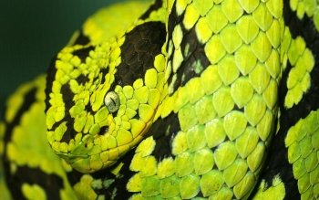 Animal - Snake Wallpapers and Backgrounds ID : 153006