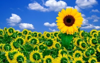 Earth - Sunflower Wallpapers and Backgrounds ID : 153028