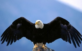 Animal - Eagle Wallpapers and Backgrounds ID : 153034