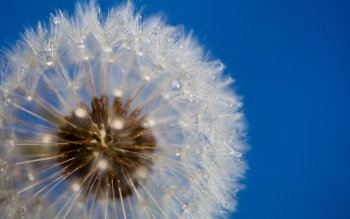 Terra - Dandelion Wallpapers and Backgrounds ID : 153704