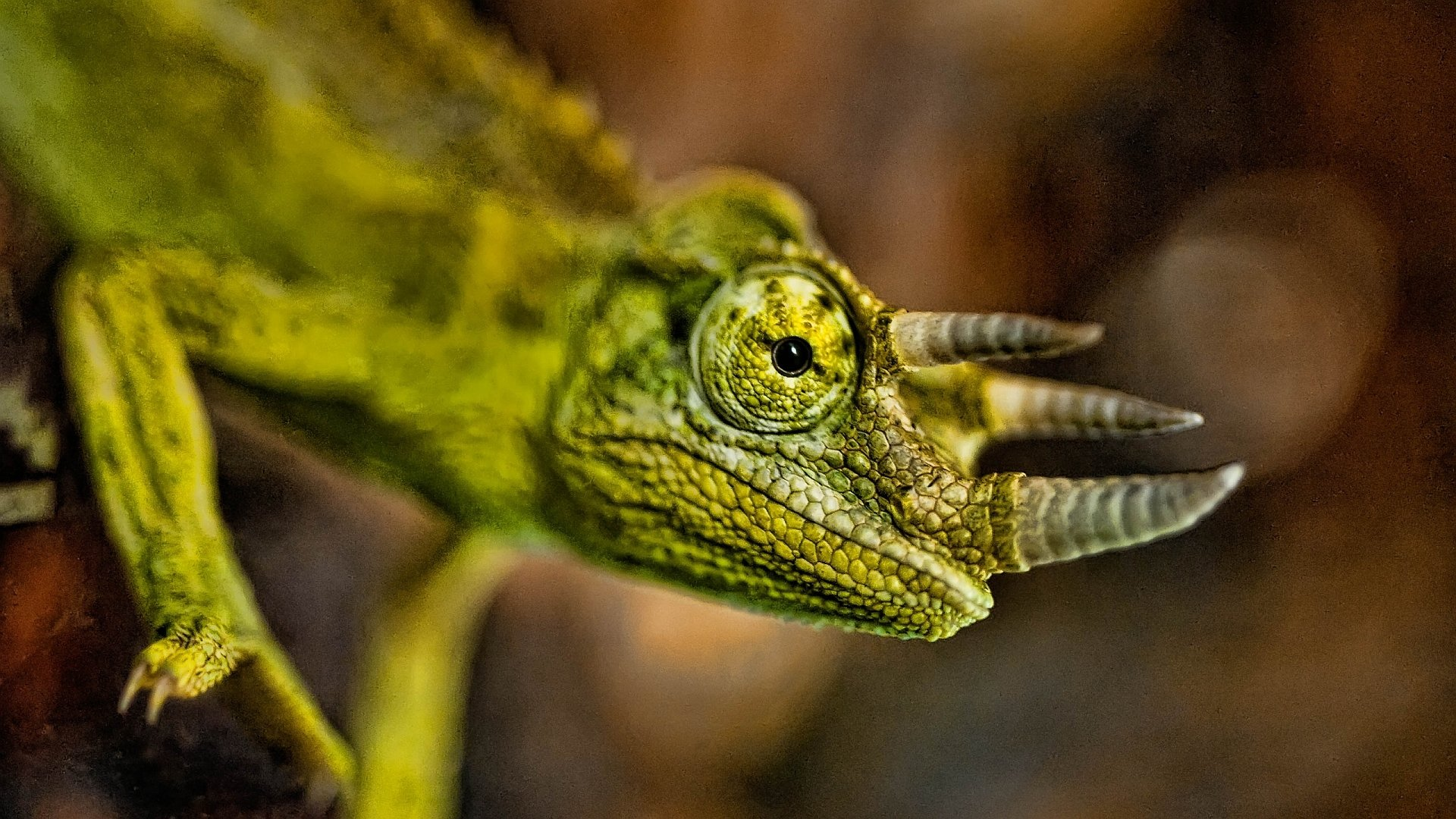 Jackson's Chameleon HD Wallpapers | Background Images