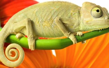 Animal - Lizard Wallpapers and Backgrounds ID : 155416