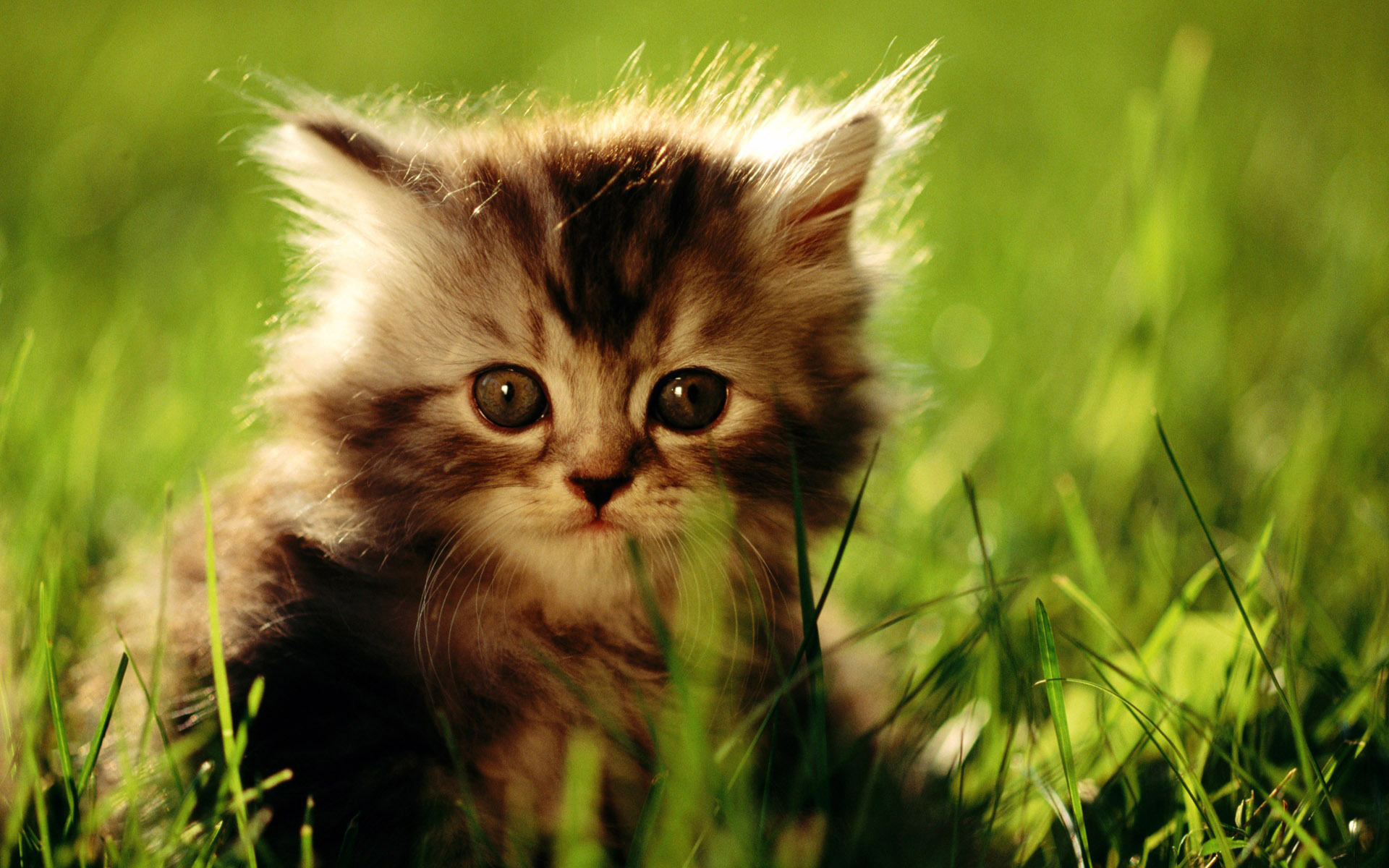 Wonderful Cat Wallpaper 1920x1200 - 156368  Image_1002953 .jpg