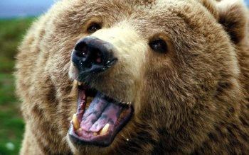 Animal - Bear Wallpapers and Backgrounds ID : 15684