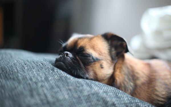 Animal Pug Dogs Dog HD Wallpaper   Background Image