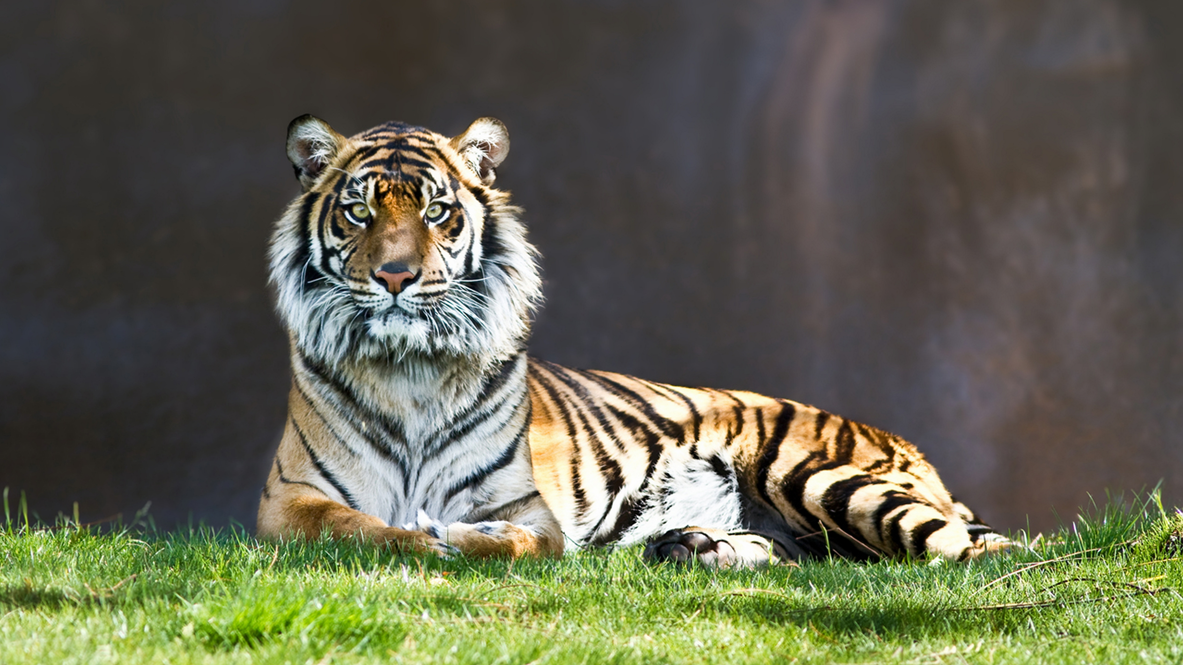 133 4k ultra hd tiger wallpapers | background images - wallpaper abyss
