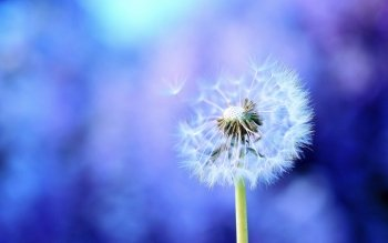 Earth - Dandelion Wallpapers and Backgrounds ID : 160616