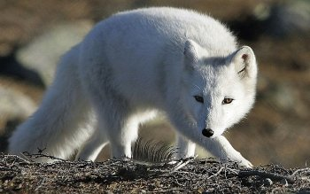 Animal - Arctic Fox Wallpapers and Backgrounds ID : 161636