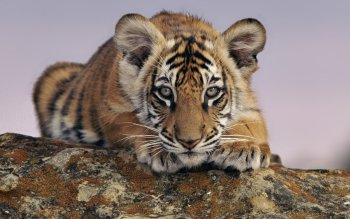 Animal - Tiger Wallpapers and Backgrounds ID : 163708