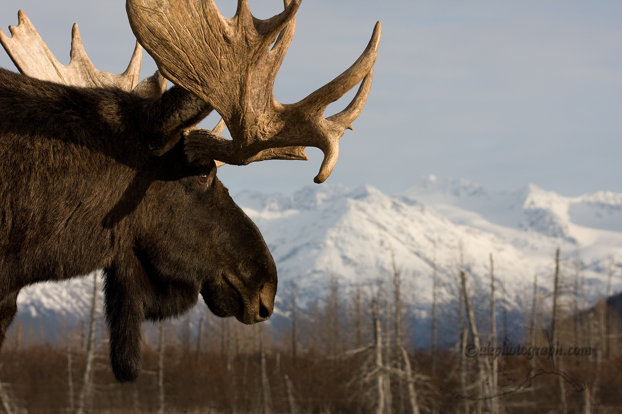 moose hd wallpaper - photo #9