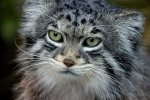 Preview Pallas's Cat