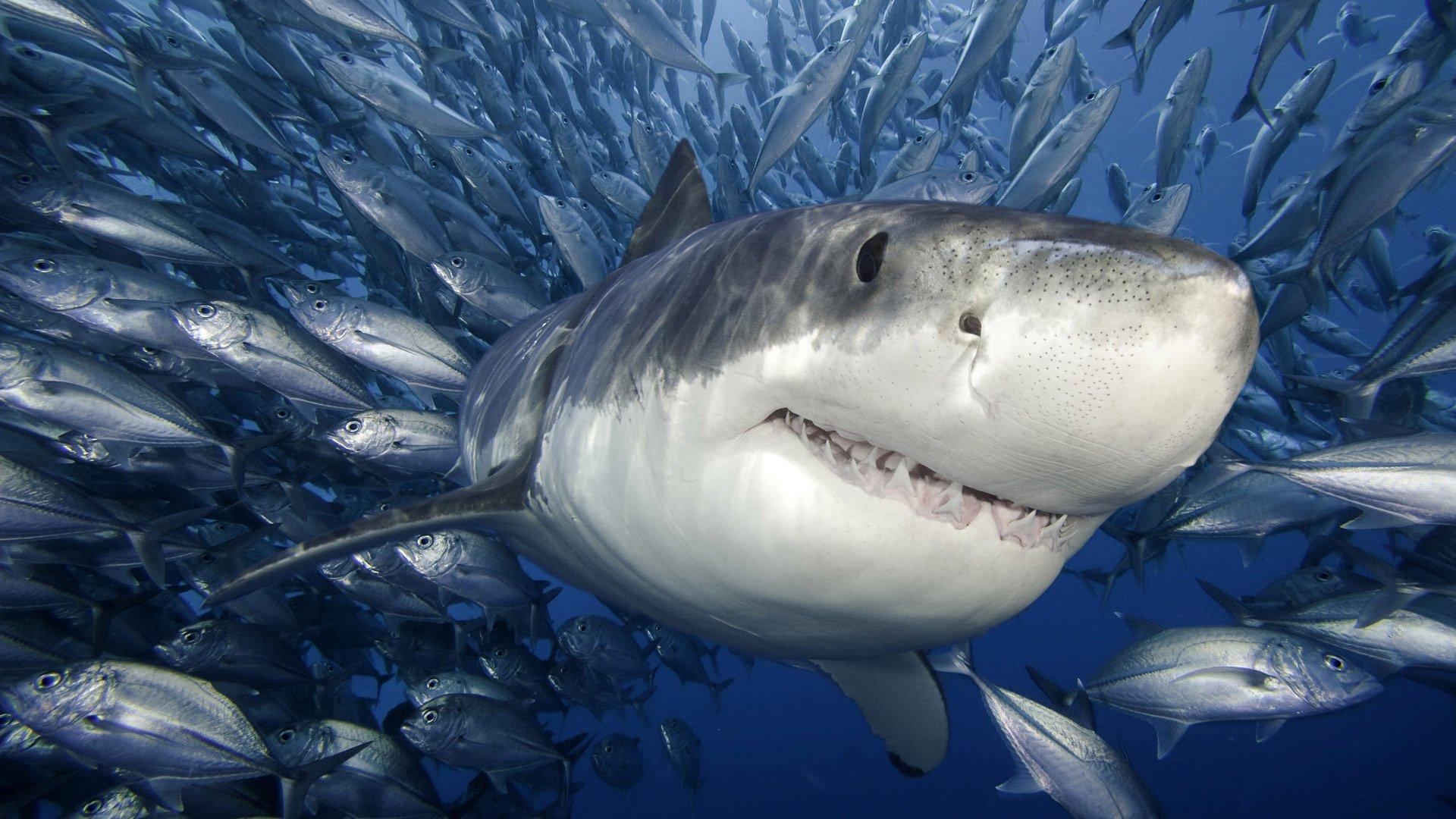 Requin Fond d'écran HD | Arrière-Plan | 1920x1080 | ID:168044 - Wallpaper Abyss