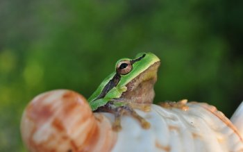 Animal - Frog Wallpapers and Backgrounds ID : 171068