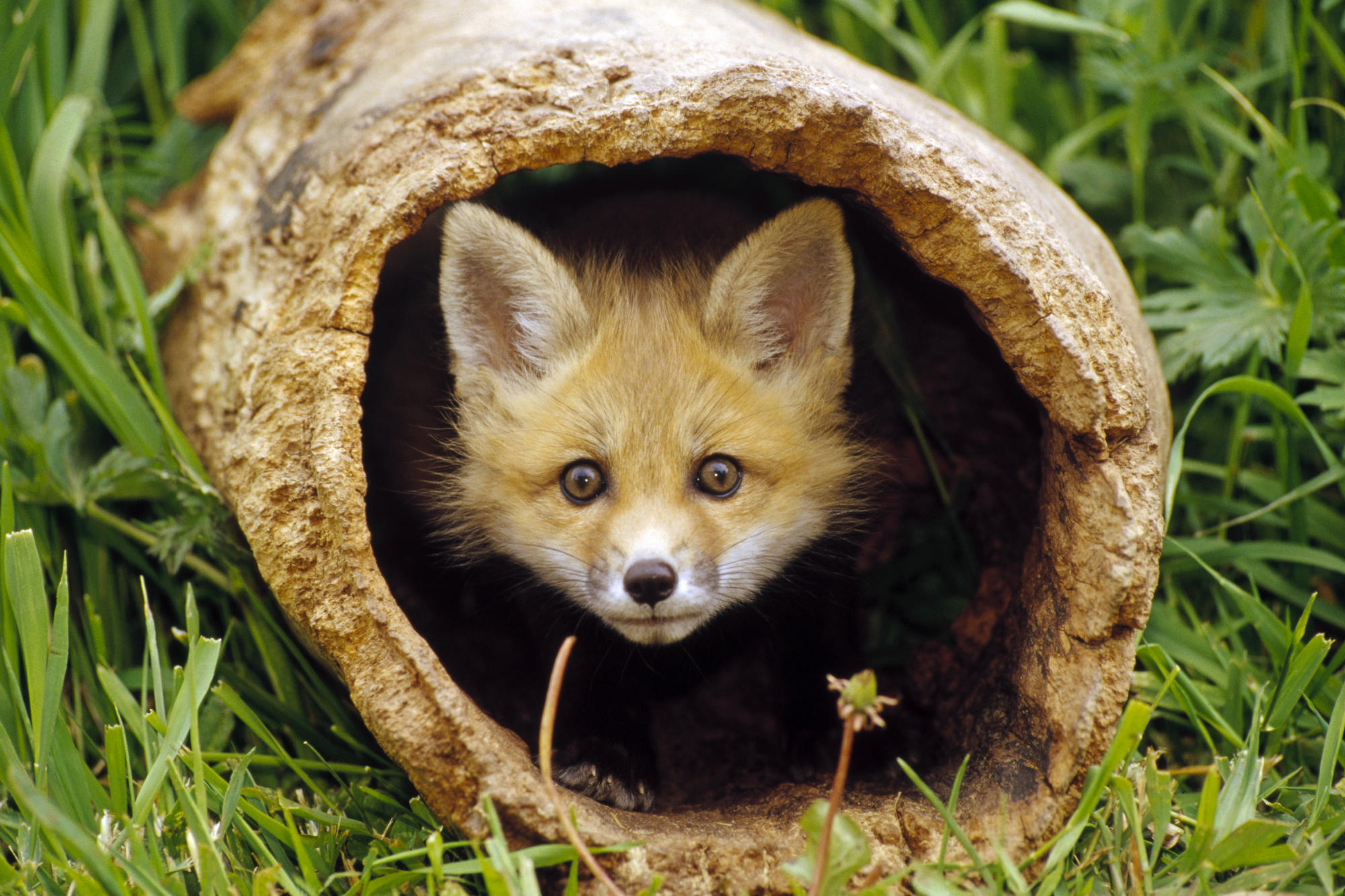 Fox Full Hd Wallpaper And Background Image 2000x1333
