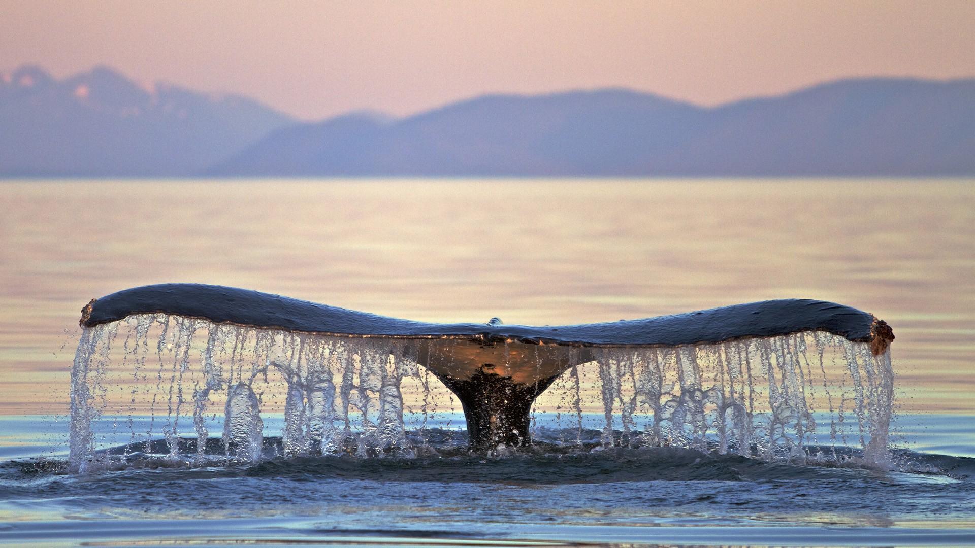 Whale HD Wallpaper