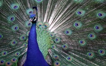 Animal - Peacock Wallpapers and Backgrounds ID : 177706