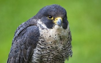 Dierenrijk - Falcon Wallpapers and Backgrounds ID : 179166