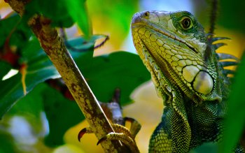 Animal - Iguana Wallpapers and Backgrounds ID : 181808