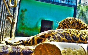 Tier - Leopard Wallpapers and Backgrounds ID : 182658
