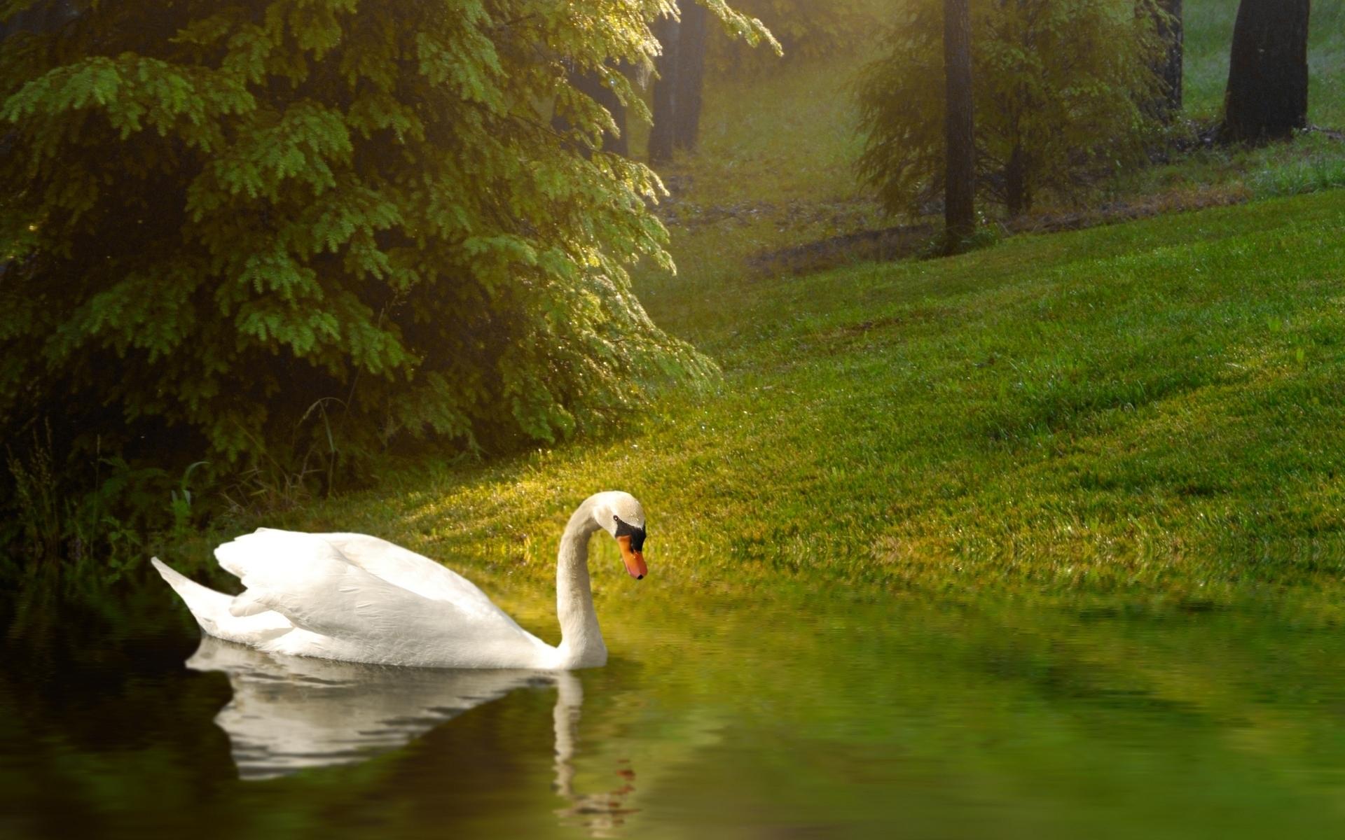 Mute Swan HD Wallpaper